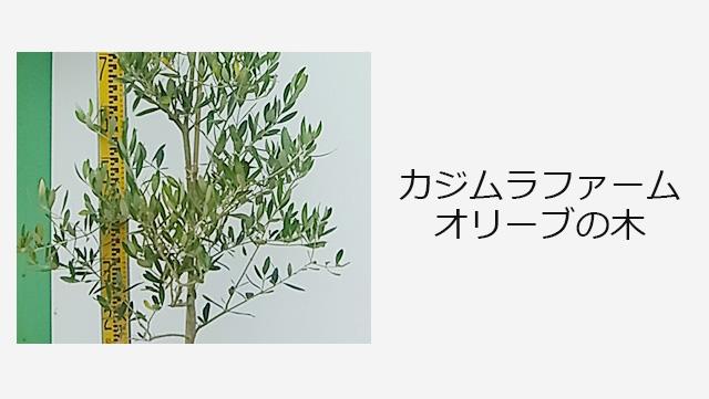 カジムラファーム オリーブの木