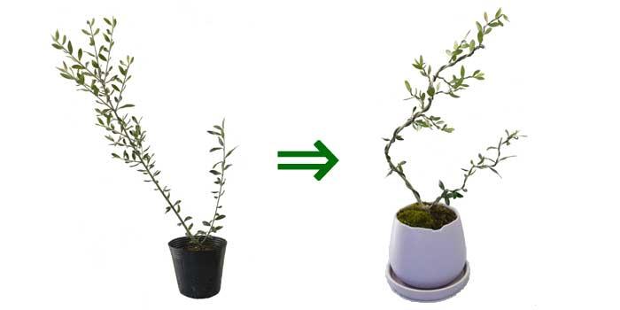 オリーブの盆栽の作り方