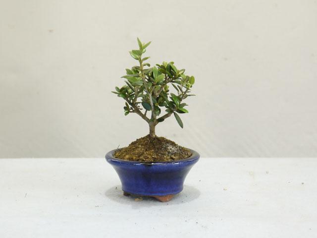 小葉性オリーブのミニ盆栽のお手入れ