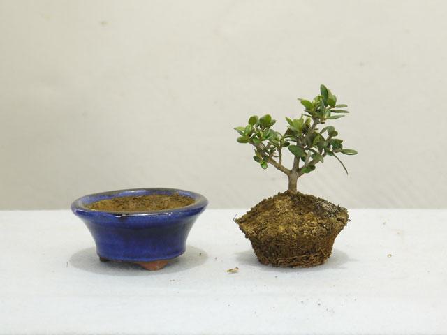 鉢から木を取り出す