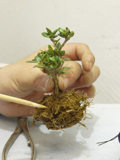 根かき箸で外側の根っこをほぐす