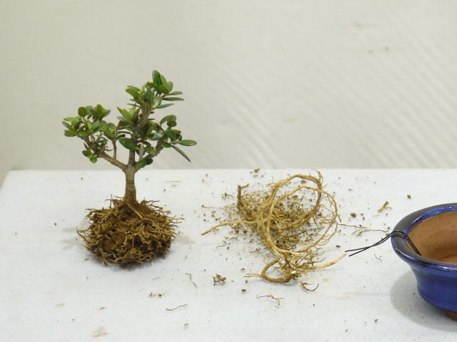 根を綺麗に整える