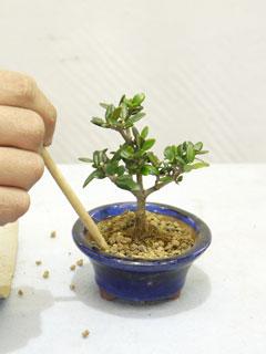 根かき箸で周りからつつき隙間がないように土を詰める
