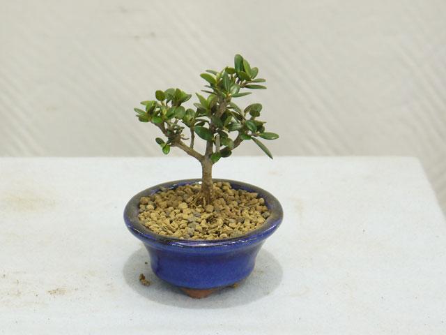 小葉性オリーブのミニ盆栽のお手入れ完成!