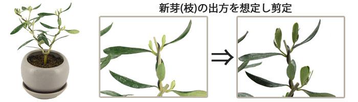 オリーブの盆栽用素材・コンパクトに育てる