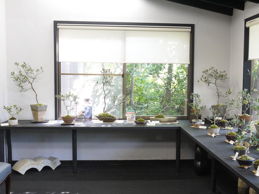 秋山実氏のオリーブの盆栽