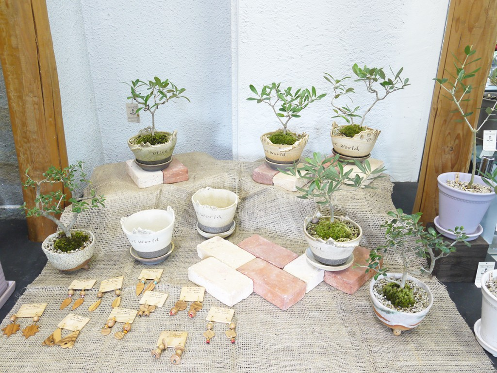 濱村裕子さんの陶器に植え込んだオリーブの盆栽