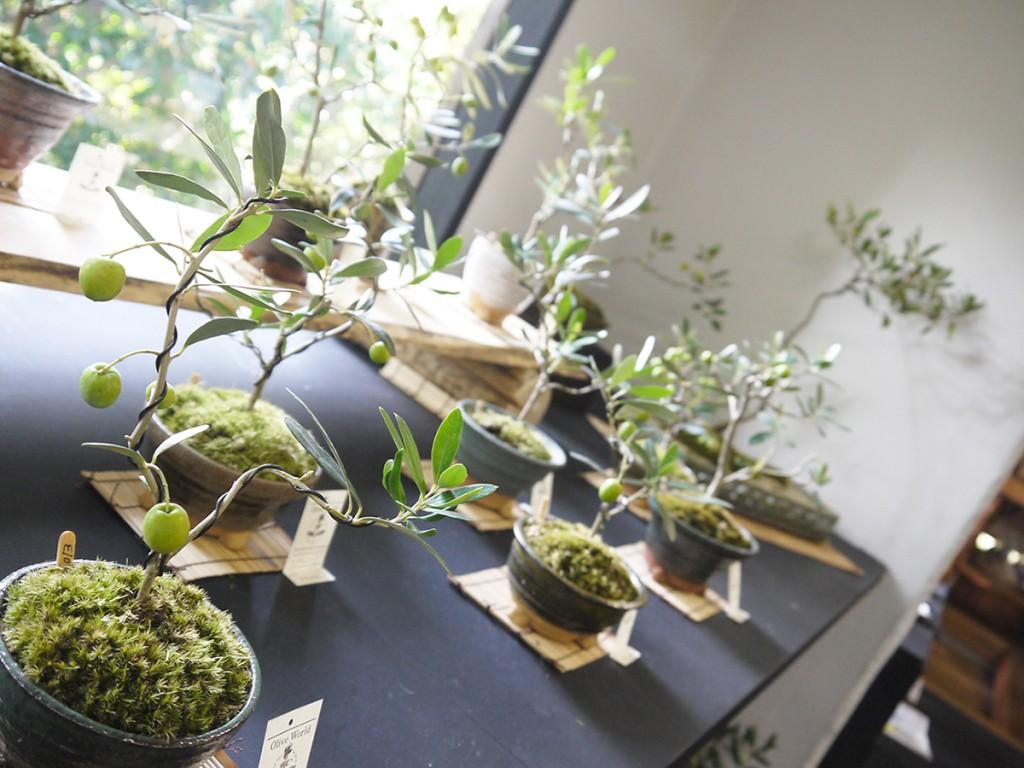 大きな窓辺の実が生ったオリーブの盆栽