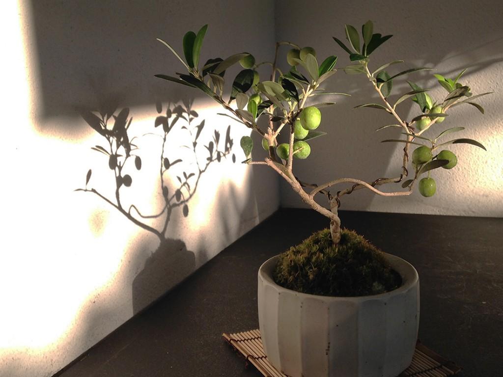 オリーブの盆栽の影もまた素敵