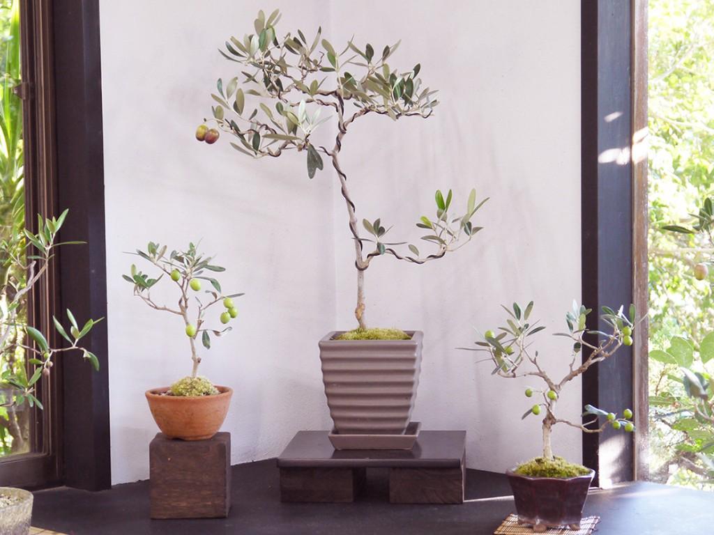 オリーブの盆栽・カラマタ