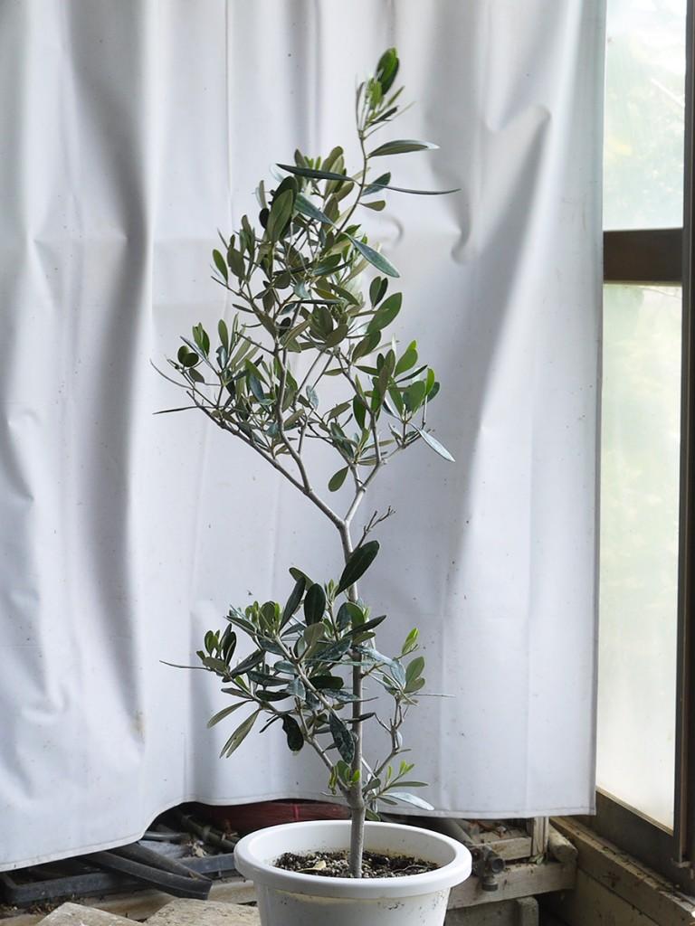 オリーブの盆栽の素材・カラマタ