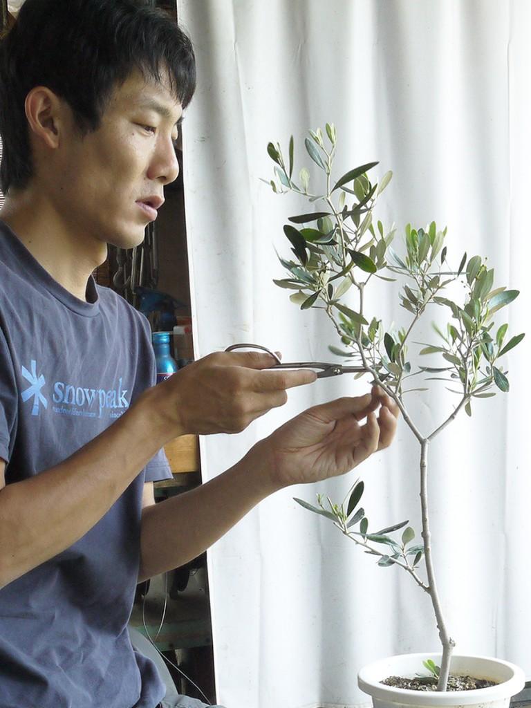 オリーブの盆栽「カラマタ」の剪定後