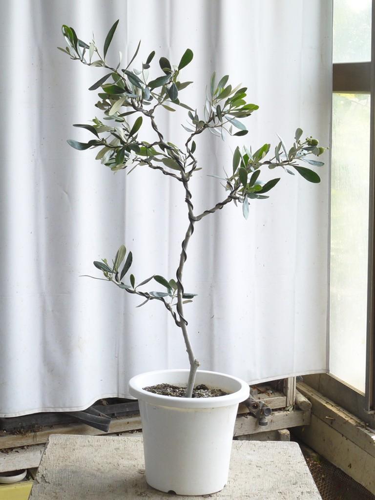 オリーブの盆栽「カラマタ」完成