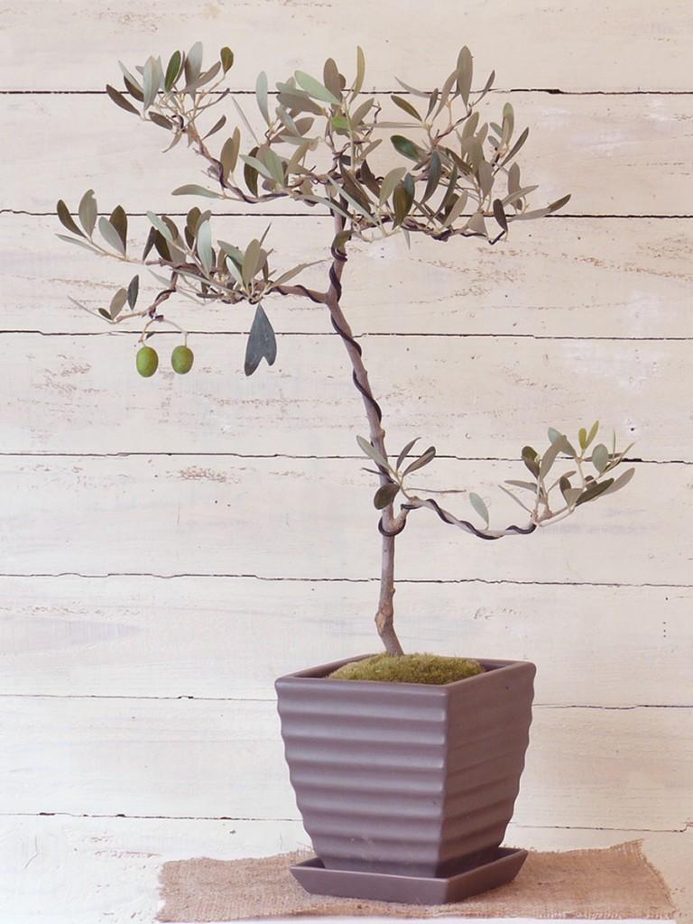2014 第2回オリーブの盆栽展の「カラマタ」の盆栽