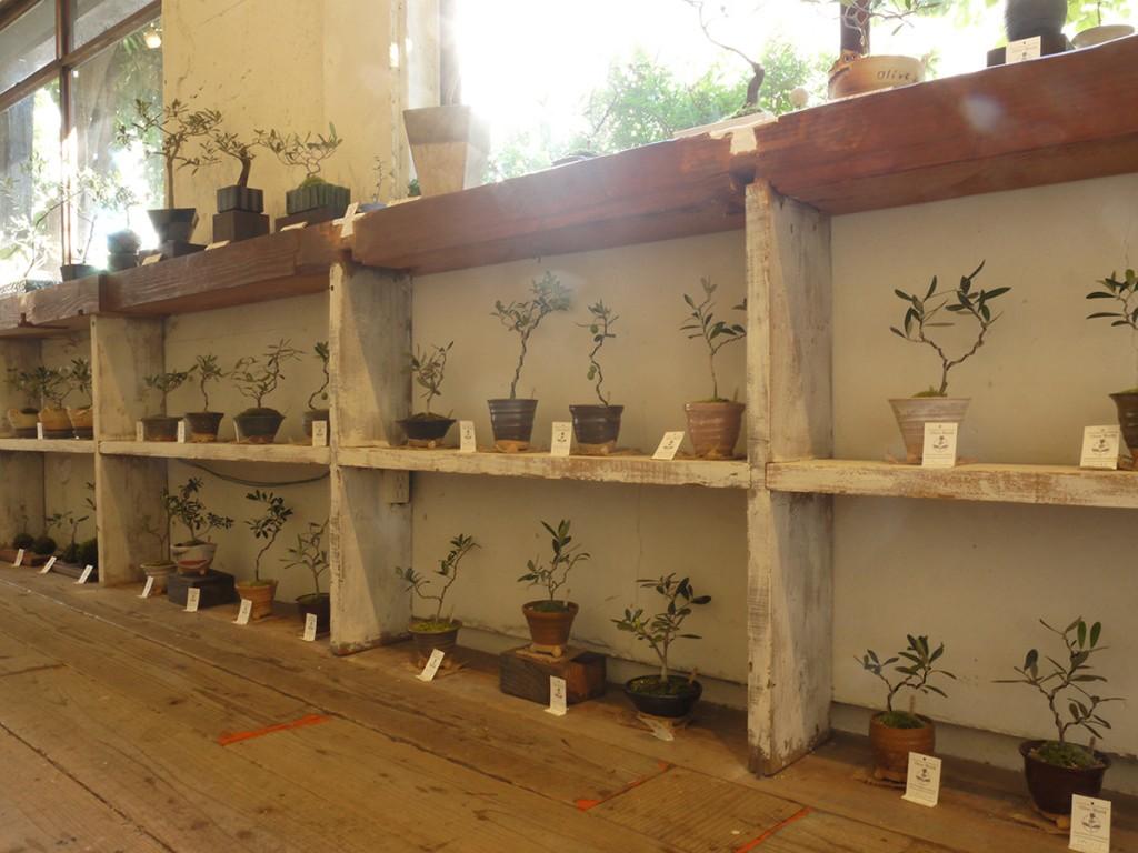 神戸元町会場のオリーブの盆栽達