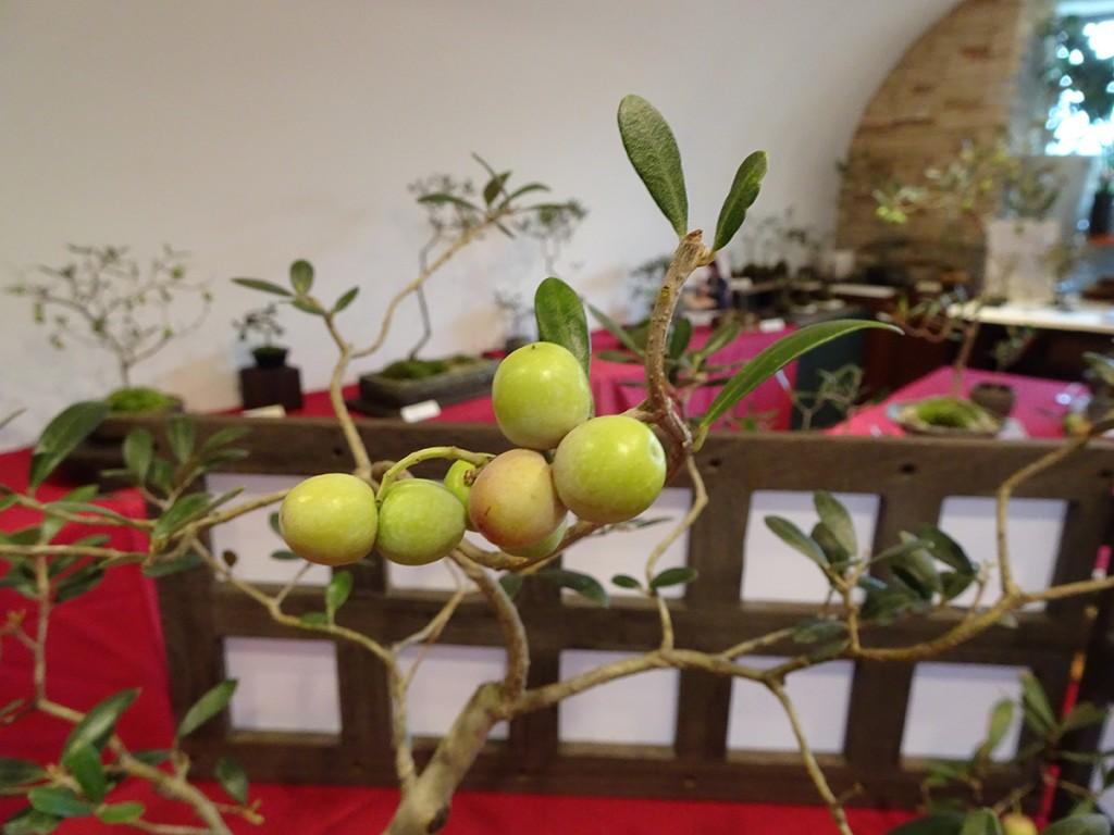 オリーブの盆栽・アルベキナの実