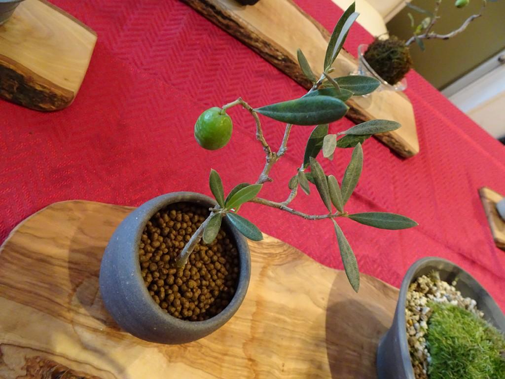 チャコボールを使ったオリーブの盆栽