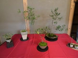 2016年湘南二宮オリーブの盆栽展
